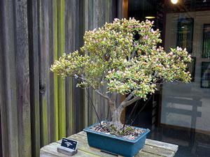 Bonsai trees