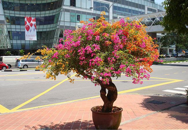 Bouganvilla bonsai tree