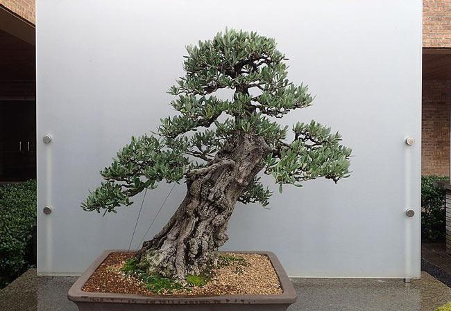 Slanting style bonsai tree