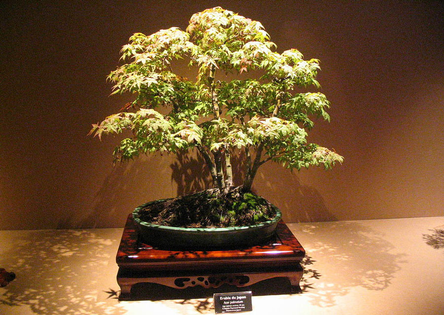 Bonsai exhibitions