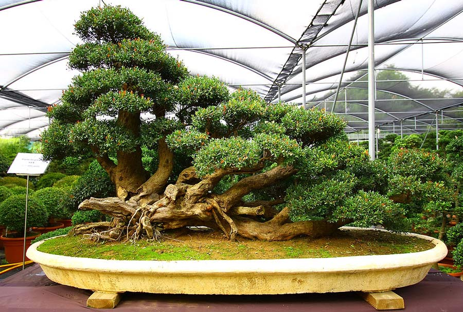 The Kinashi bonsai festival