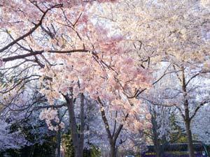 Okinawa Cherry Blossom Viewing Spots.