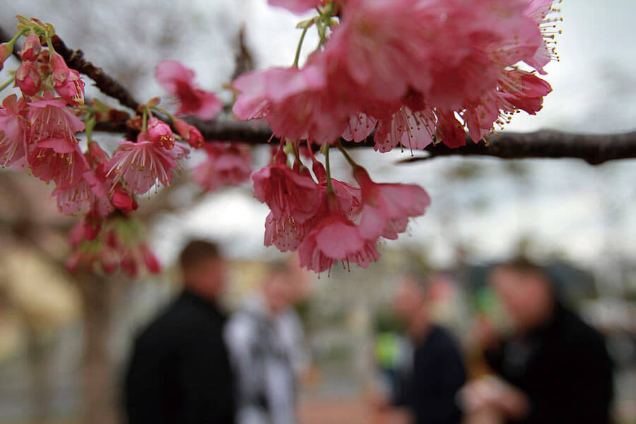 Yaese Park Cherry Blossom Festival