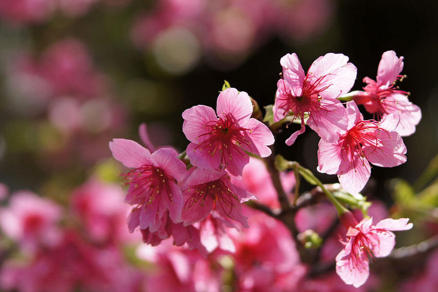 Yogi Park Cherry Blossom Festival
