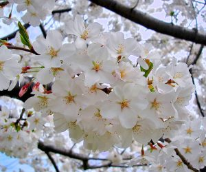 Cherry Blossoms in Okinawa