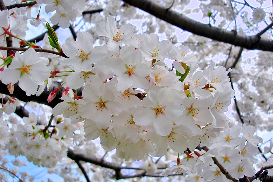 Nakijin Gusuku Cherry Blossom Festival