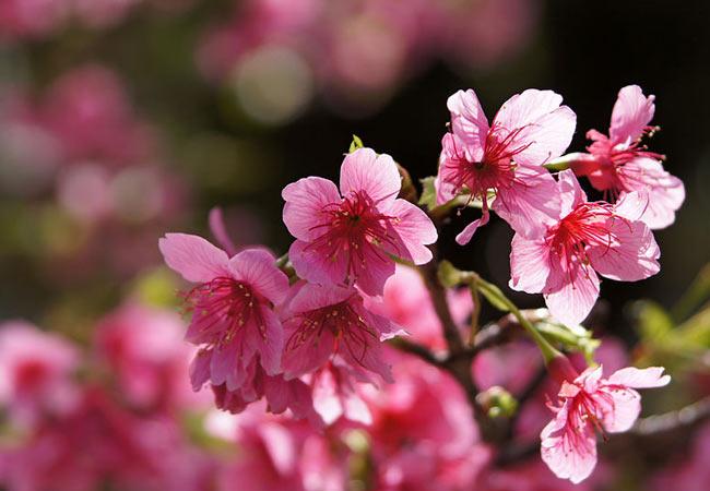 Yogi Park Sakura Festival