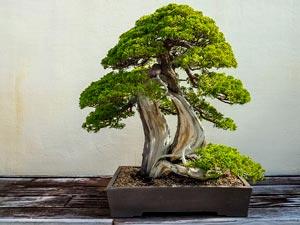Bonsai Exhibitions