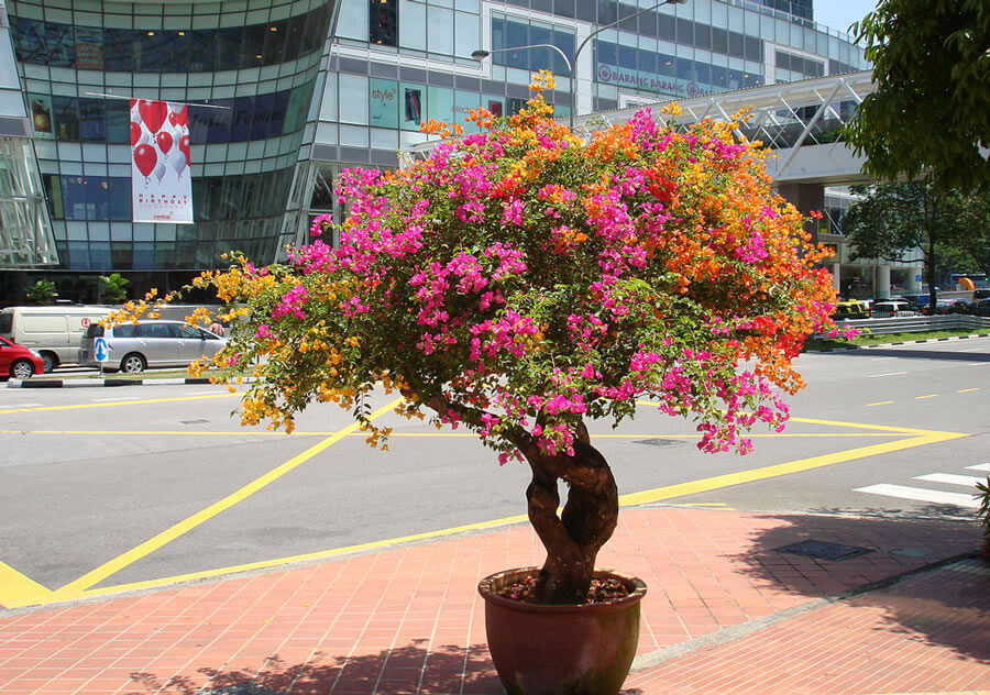 Bouganvilla tree
