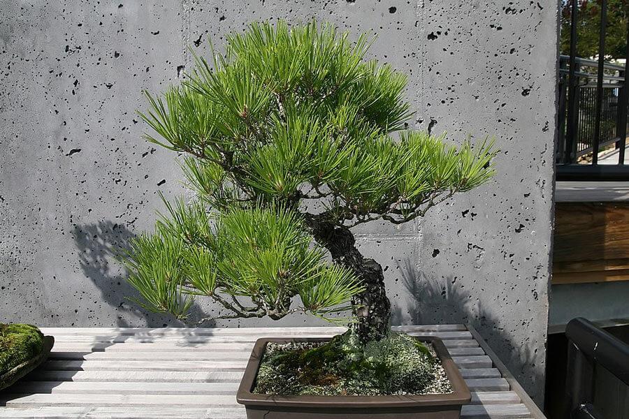 Black Pine tree