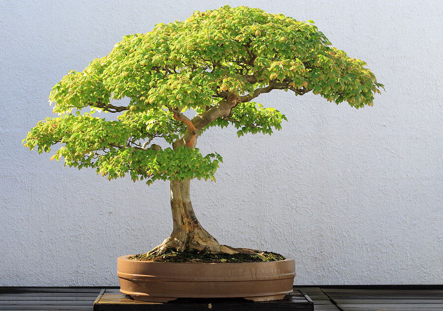 Formal upright bonsai style