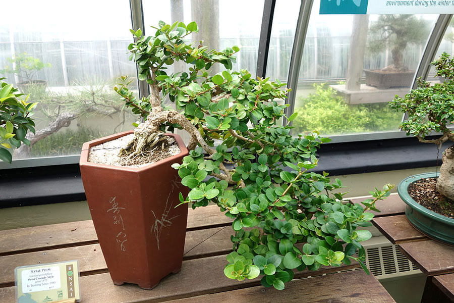 A full cascade bonsai tree