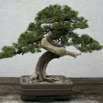 A Guide to Japanese Bonsai Trees
