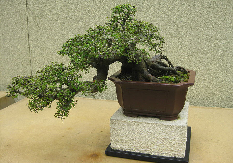 A semi-cascade bonsai tree