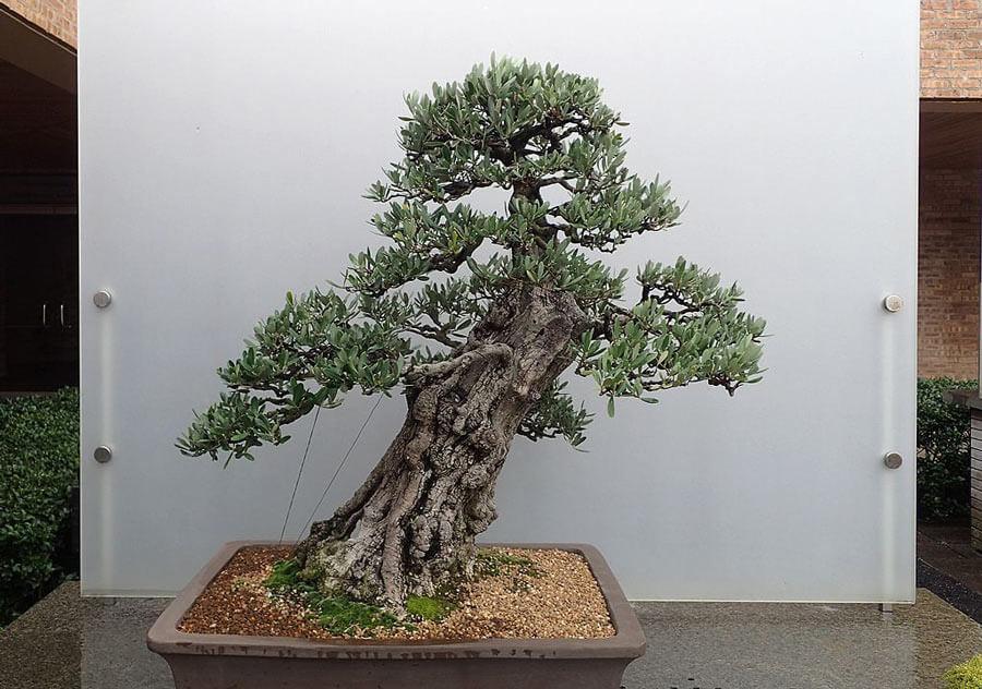 Slanting bonsai