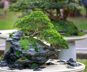 Buy Bonsai Trees